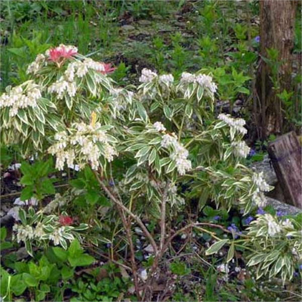 Photo de Pieris japonica Little Heath
