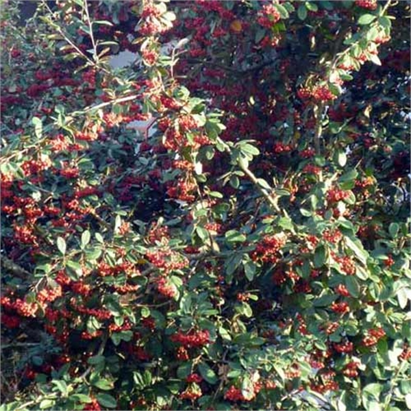 Photo de Cotoneaster lacteus