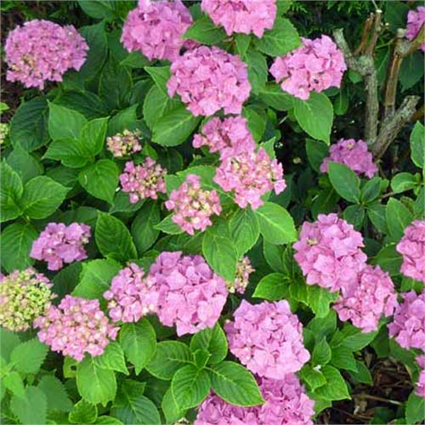 Photo de Hortensia rose, Hydrangea macrophylla rose