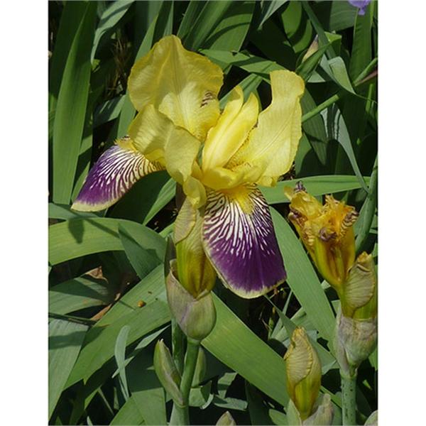 Iris Des Jardins Nibelungen Bojardin