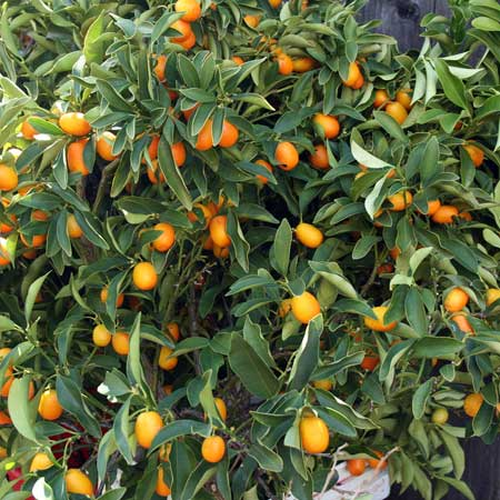 Photo de Kumquat sur tige, Citrus Kumquat