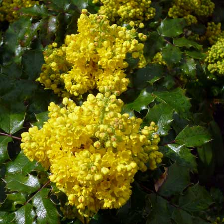 Photo de Collection 3 Mahonia