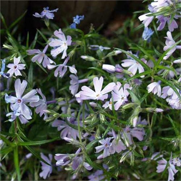 Photo de Phlox subulata Emerald Cushion
