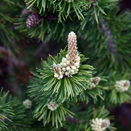 Photo de Pinus mugo pumilio