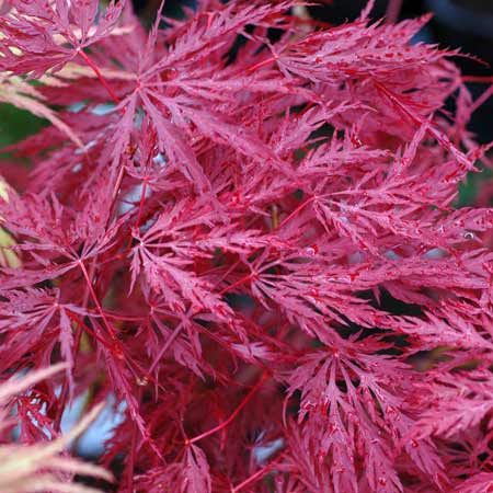 Photo de Erable du Japon, Acer palmatum Inaba Shidare