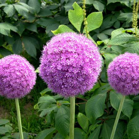 Photo de Ail d'ornement géant (Allium giganteum)