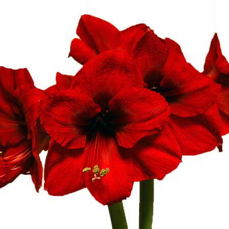 Photo de Amaryllis Red Lion