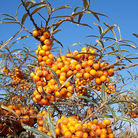 Photo de Argousier, Hippophae rhamnoides