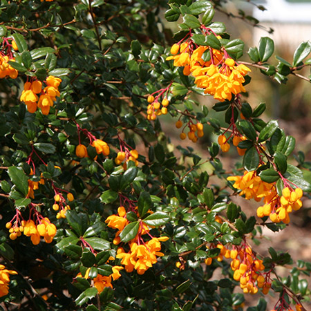 Photo de Berberis darwinii