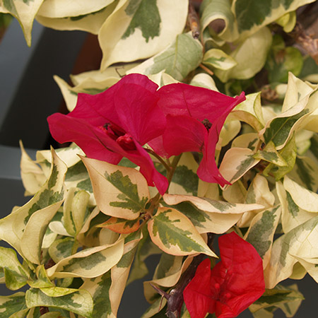 Photo de Bougainvillier Raspberry Ice, Bougainvillier panaché