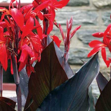 Photo de Canna haut Black Knight