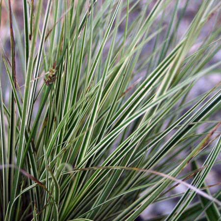 Photo de Carex brunnea Variegata
