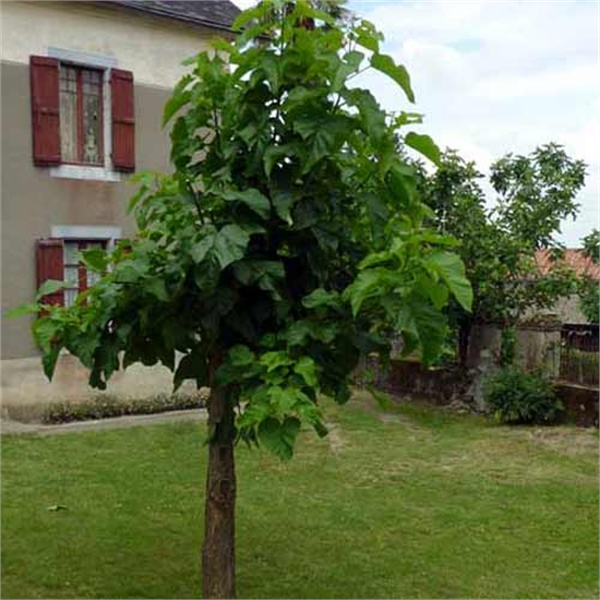 Photo de Catalpa bignonioides en Racines Nues