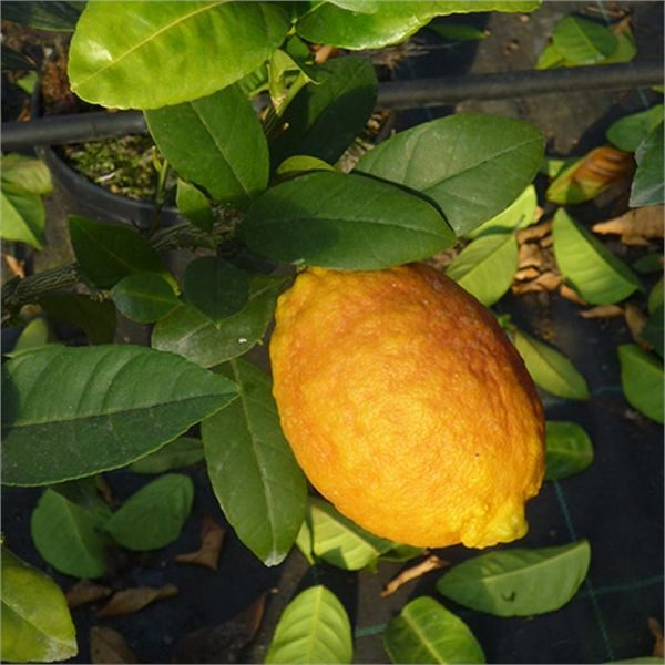 Photo de Citrus limonimedica Pigmentata, Cedrat rouge