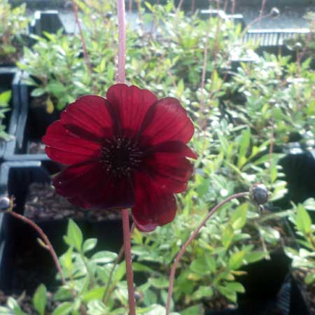 Photo de Cosmos chocolat, Cosmos atrosanguineus