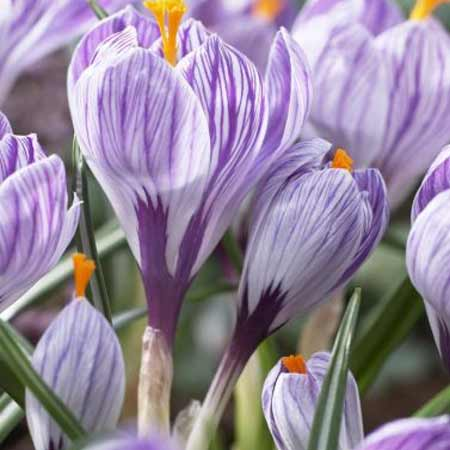 Photo de Crocus Pickwick
