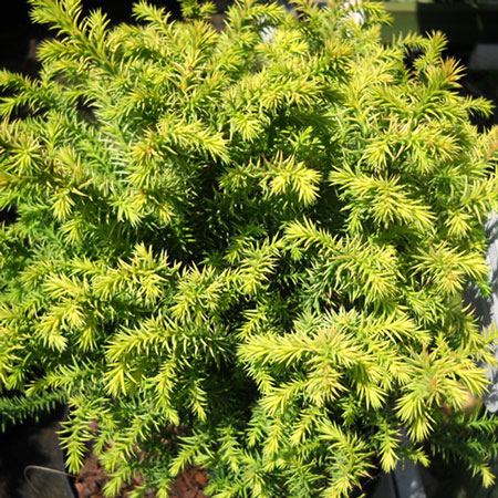 Photo de Cryptomeria japonica Vilmorin Gold