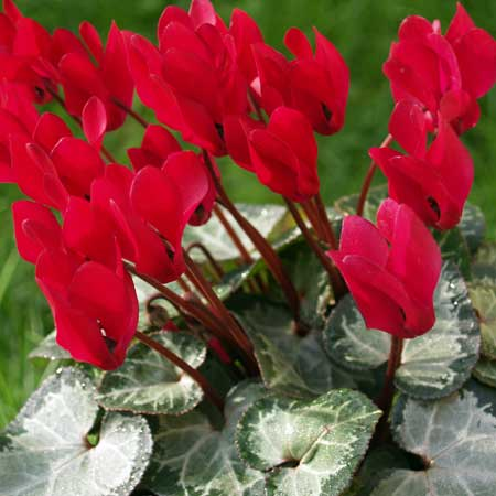Photo de Cyclamen patio rouge