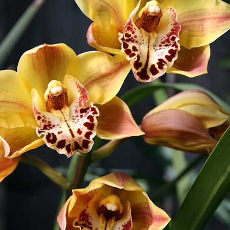 Photo de Cymbidium, Orchidée Cymbidium