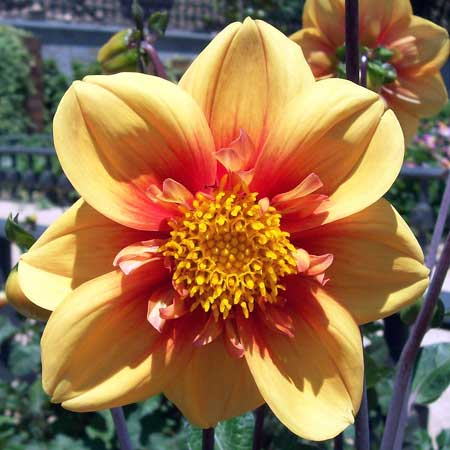 Photo de Dahlia à collerette 'Esther'
