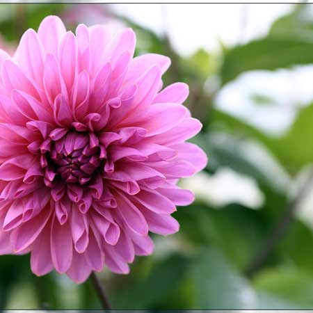 Photo de Dahlia décoratif 'Lavender Perfection'