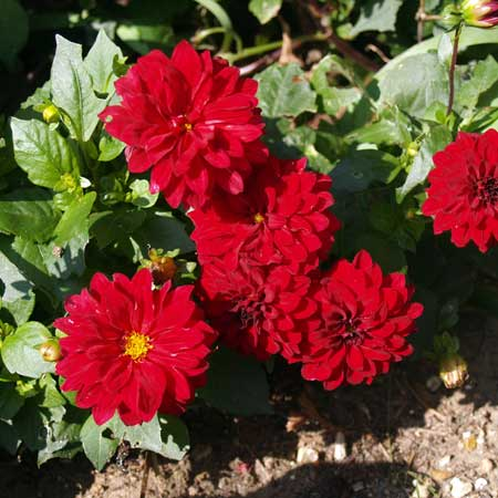 Photo de Dahlia décoratif nain Red Pigmy