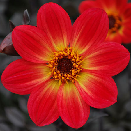 Photo de Dahlia Happy Single Flame