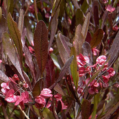Photo de Dodonea pourpre, Dodonaea viscosa Purpurea