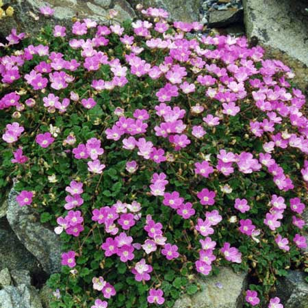 Photo de Erodium Bishop form