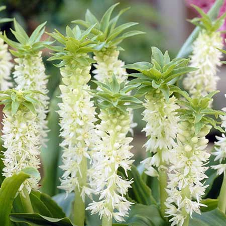 Photo de Eucomis autumnalis