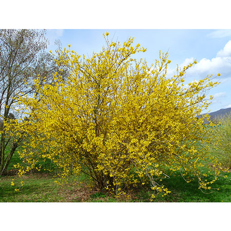 Photo de Forsythia Goldrausch