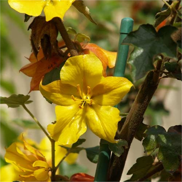 Photo de Fremontodendron California Glory, Fremontia californica