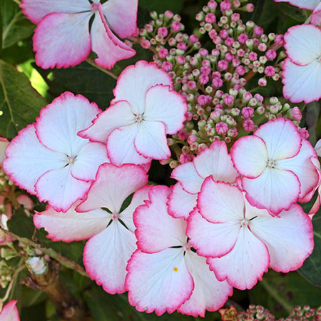 Photo de Hortensia Hovaria ® Love You Kiss