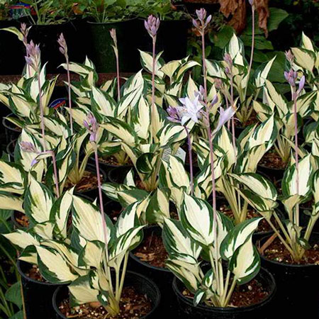 Photo de Hosta Fire and Ice