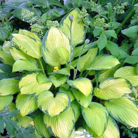 Photo de Hosta fortunei Gold Standard