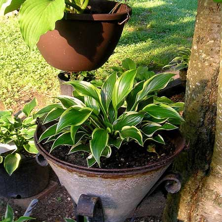 Photo de Hosta Queen Josephine