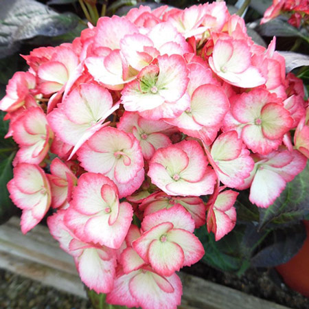 Photo de Hortensia Hovaria ® Ripple