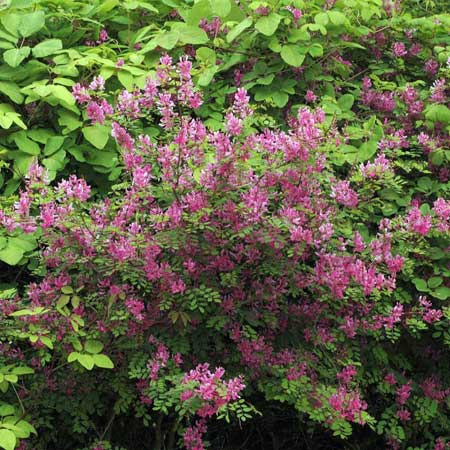 Photo de Indigofera heterantha