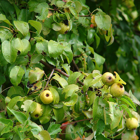 Photo de Malus sylvestris, Pommier sauvage