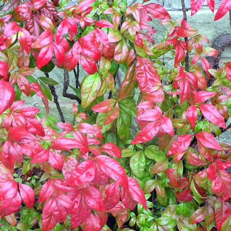 Photo de Nandina Fire Power