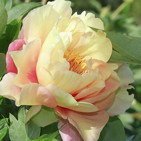 Photo de Pivoine Itoh Canary Brilliants