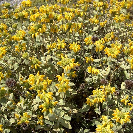 Photo de Phlomis fruticosa