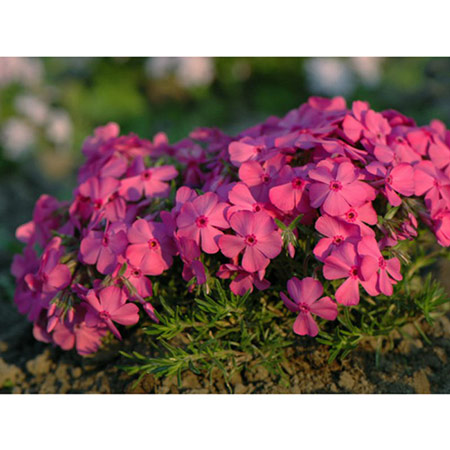 Photo de Phlox subulata McDaniel's Cushion