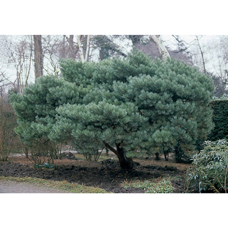 Photo de Pinus sylvestris Watereri, Pin Sylvestre nain