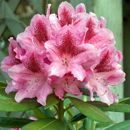 Photo de Rhododendron Cosmopolitain
