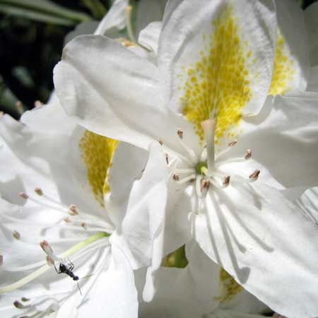 Photo de Rhododendron hybride blanc Madame Masson