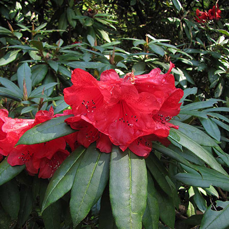 Photo de Rhododendron Red Jack