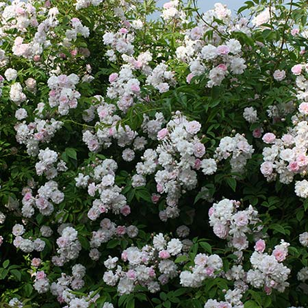 Photo de Rosier Paul's Himalayan Musk