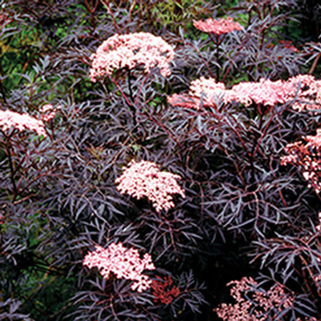 Photo de Sambucus nigra Black Lace®