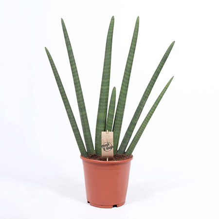 Photo de Sansevieria cylindrica
